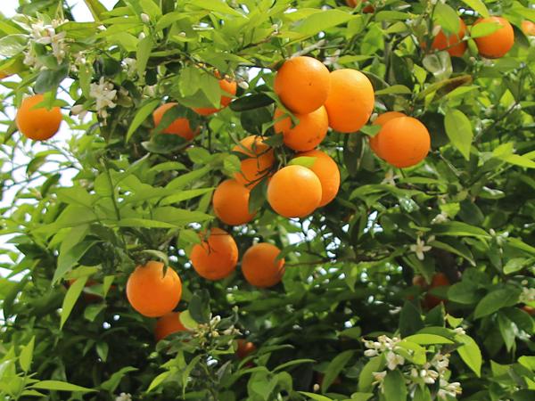 Orange süß
